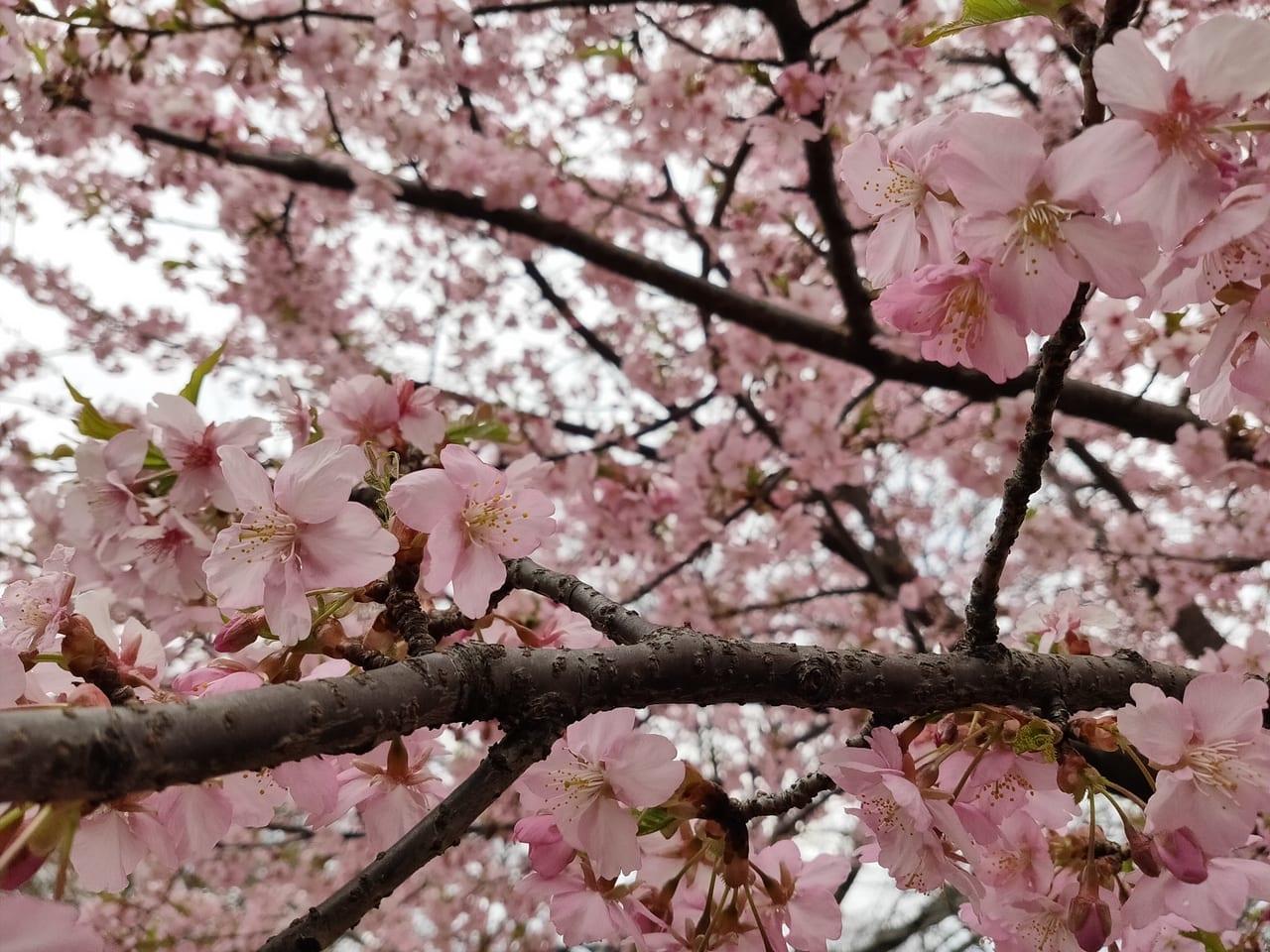 たけのこ公園の河津桜アップ